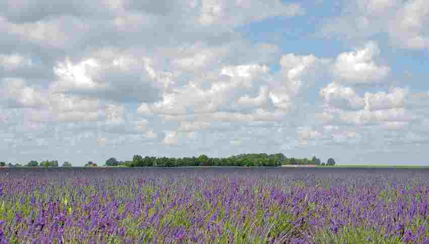 Surprising landscape with lavender visitor centre and nursery.