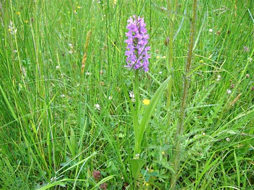 Marsh orchids in the Voorsterbos.