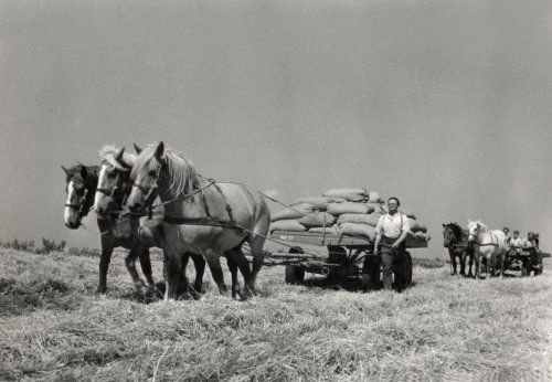 Three horses transport sacks with the harvest, behind them a cart with field workers, 1950.